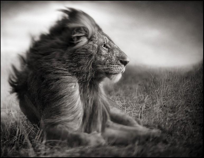 Lion Before Storm - Sitting Profile, Massai Mara 2006