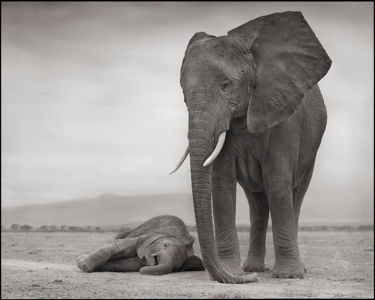 Elephant Mother & Baby Sleeping, Amboseli, 2012