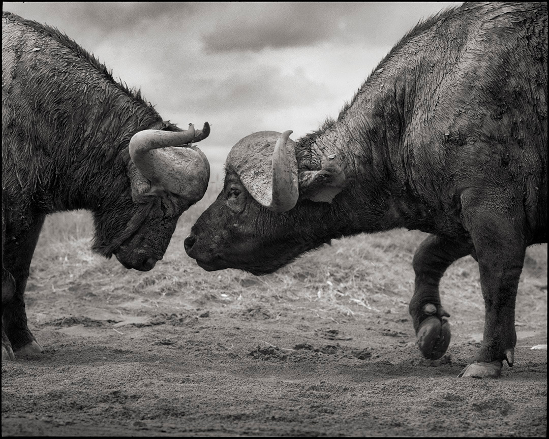 Buffalos Head to Head, Lake Nakuru, 2011