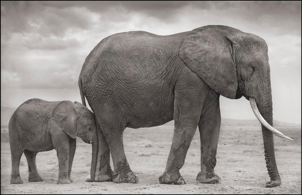 Elephant Mother with Baby at Leg, Amboseli, 2012