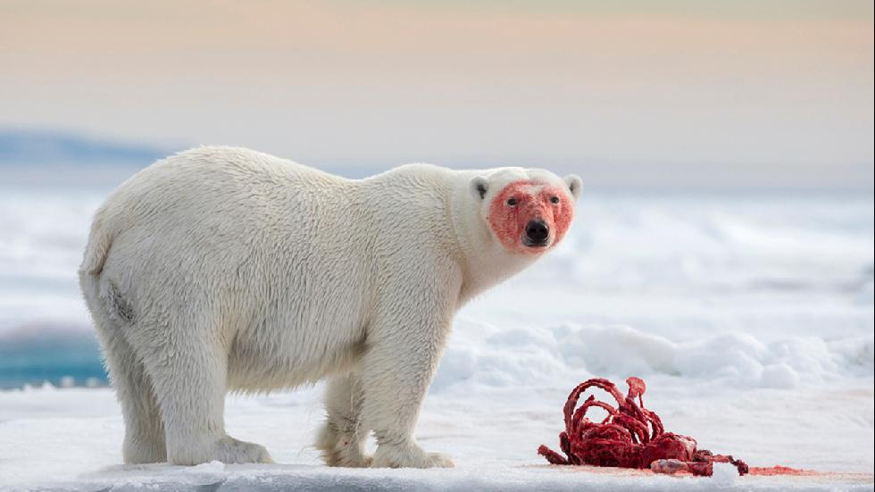 Wild and Vibrant winner, Joshua Holko, Australia A polar bear gorges on a carcass 80º North of Svalbard in the Arctic Photograph: Joshua Holko/TPOTY
