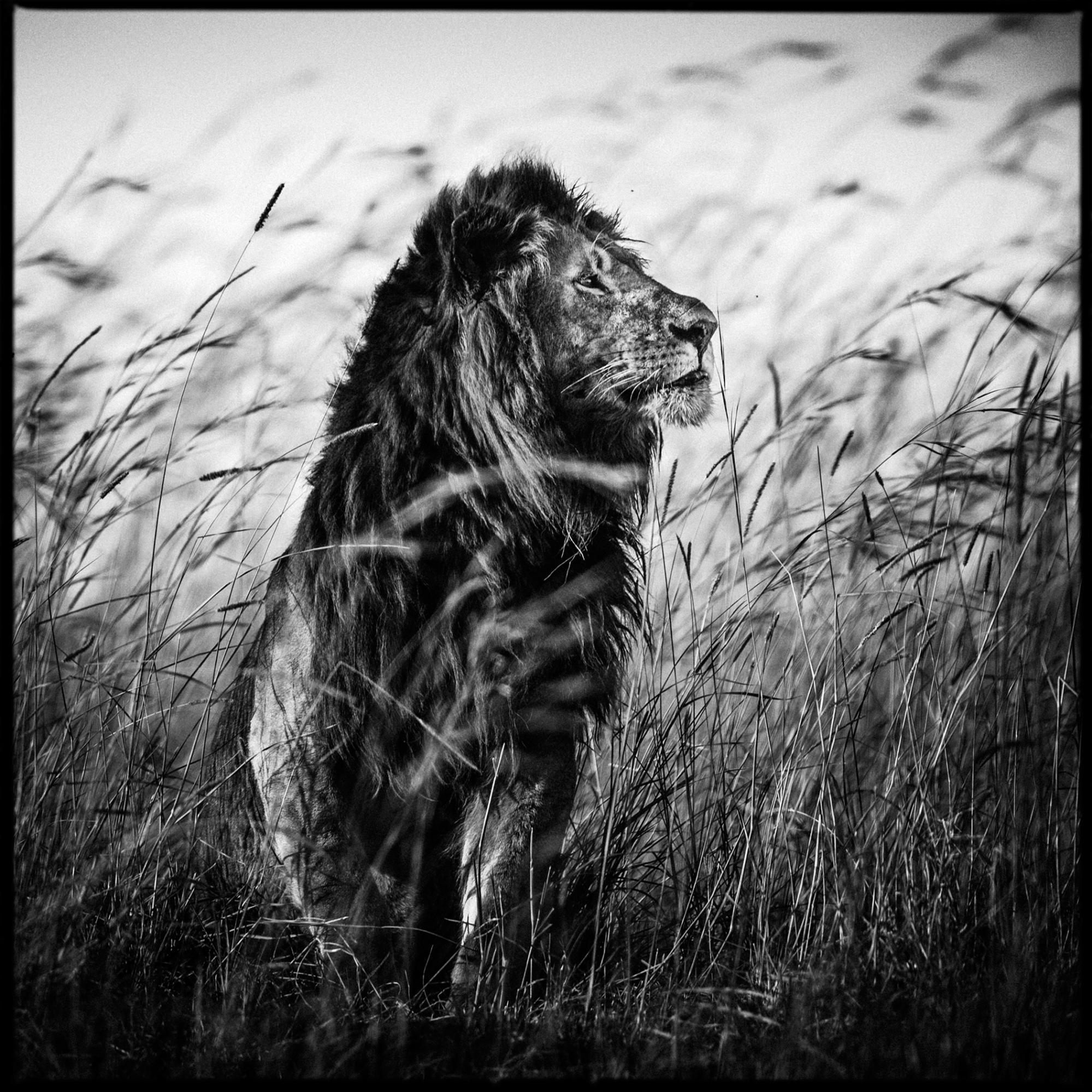 Lion in the grass, Kenya, 2013
