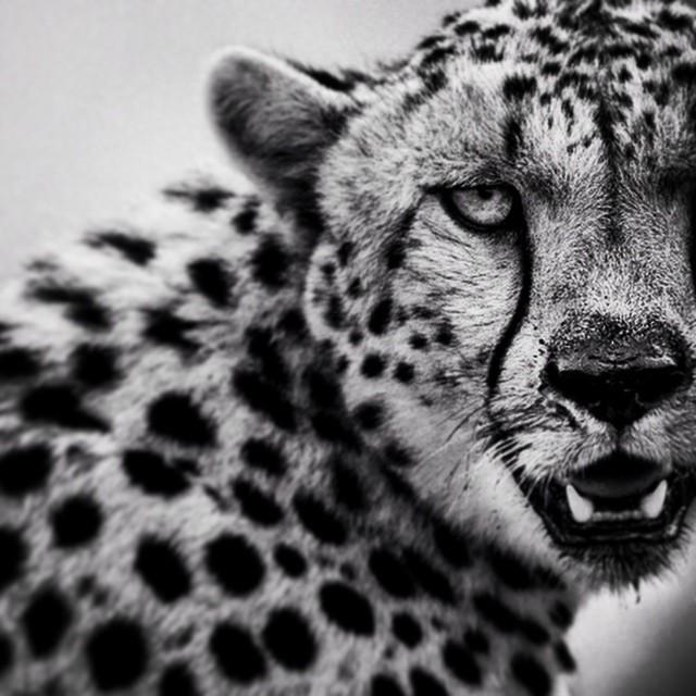 Cheetah portrait 2 - Tanzania 2007