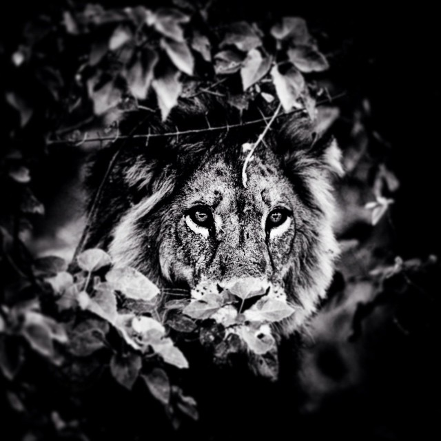 Lion in the wind - Serengeti - Tanzania 2007