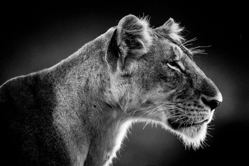 Lioness - Lionne, Kenya, 2006