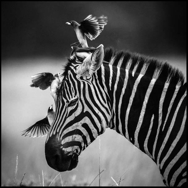 Zebra with friends - Masaï Mara - Kenya 2014
