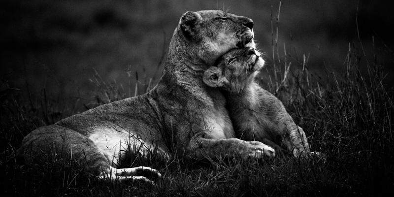Lioness and its cub, Masai Mara, Kenya, 2006