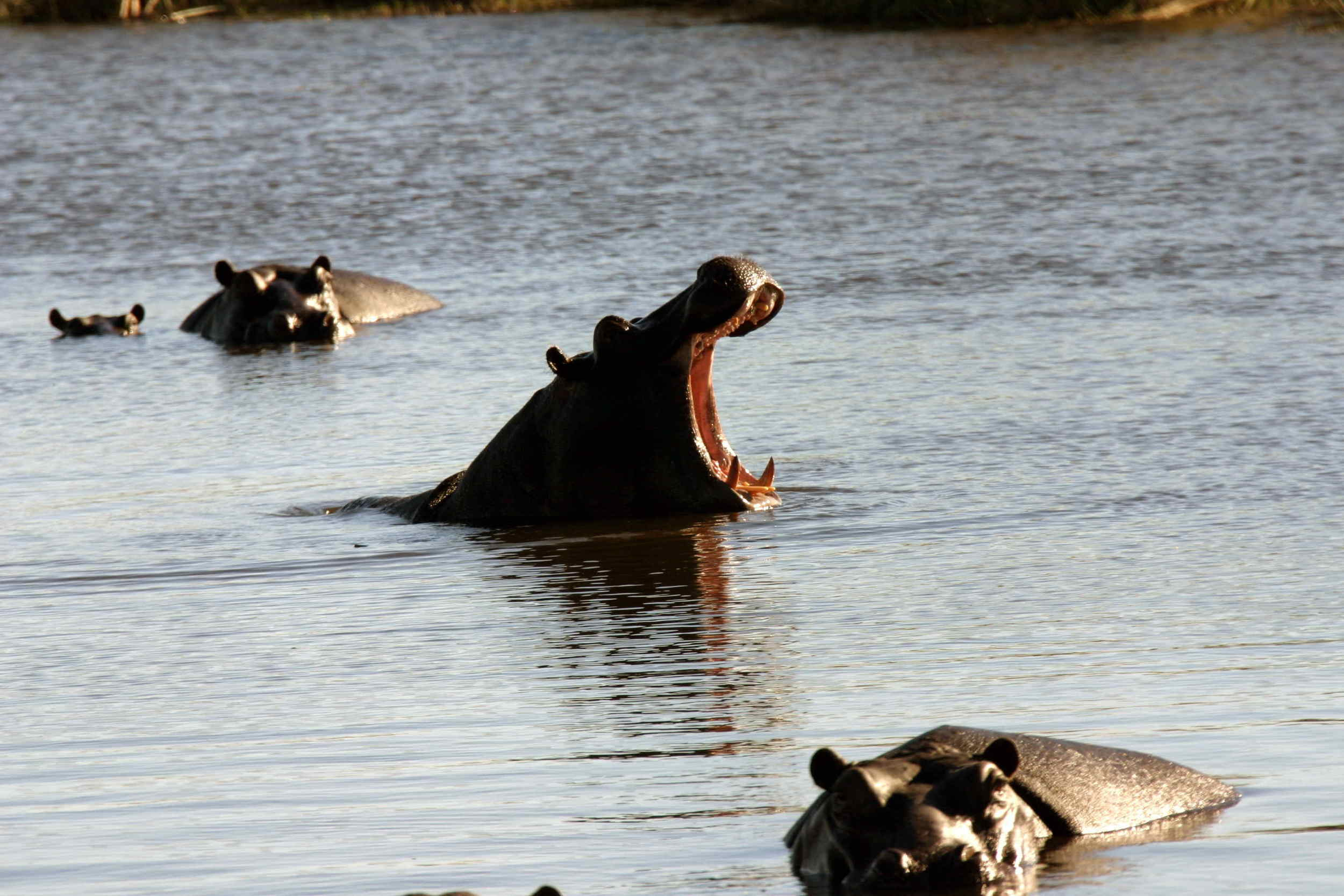 72-Hippo_1801.jpg