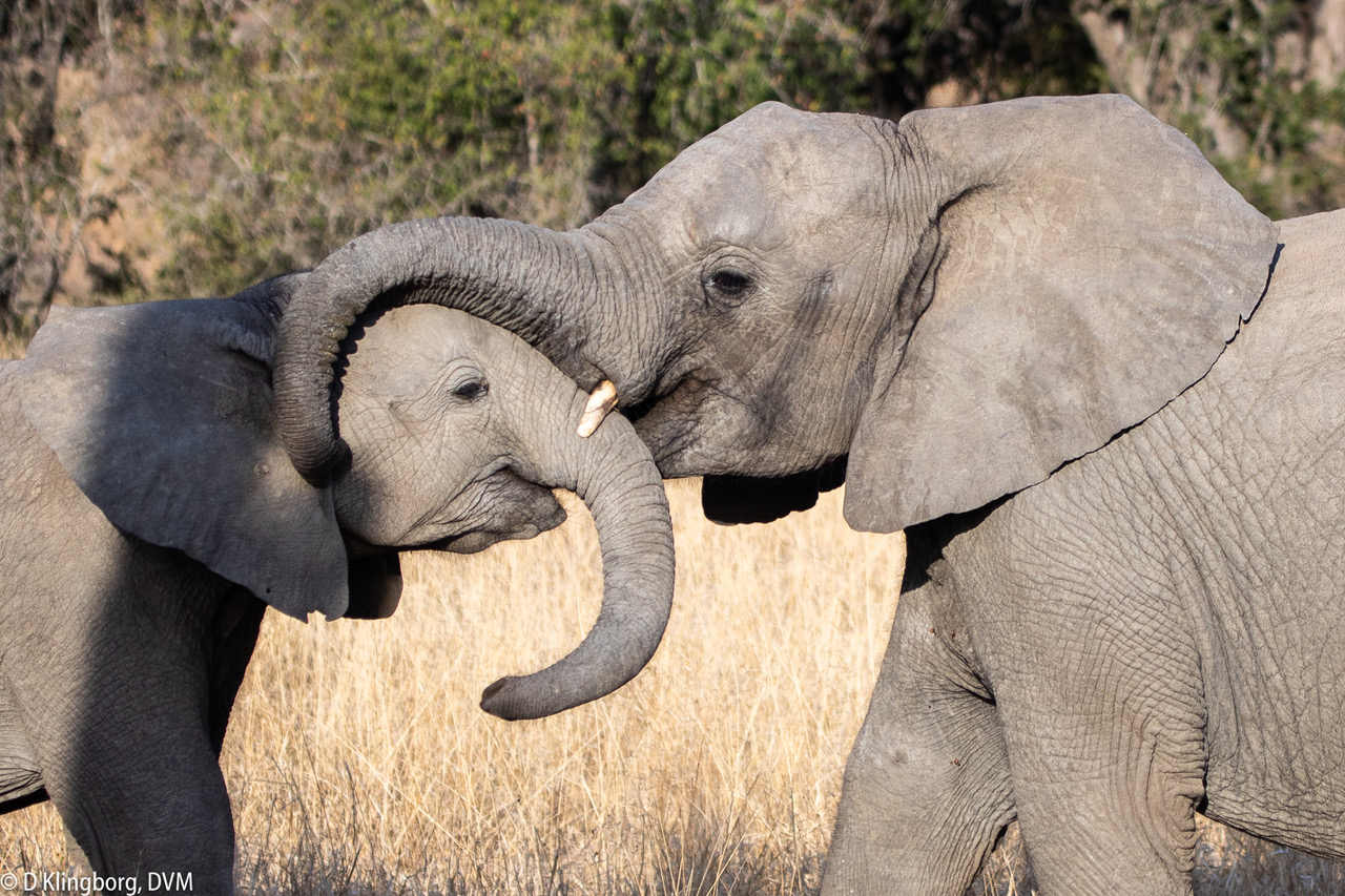 Young elephants hugging.jpeg