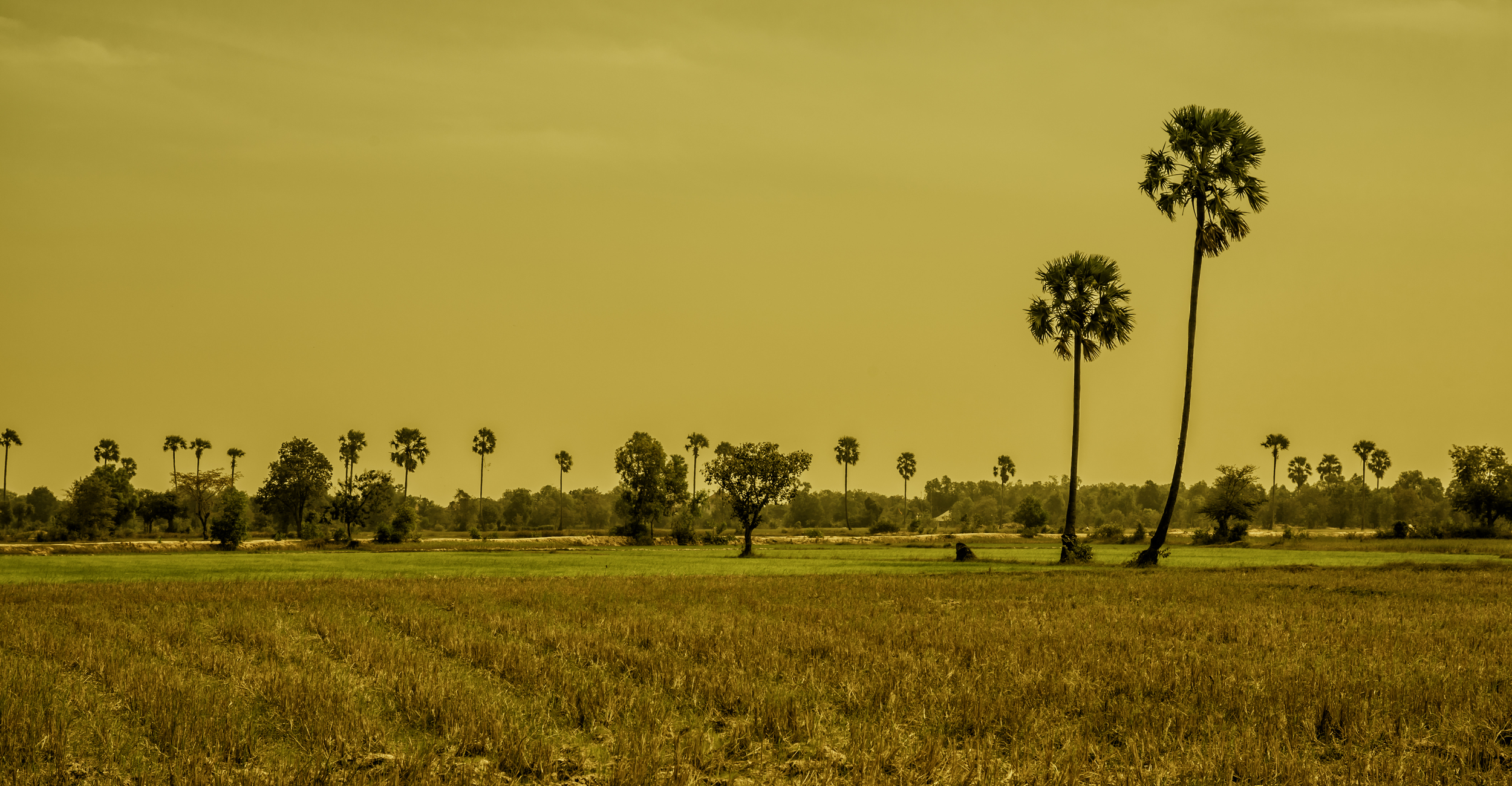 The Golden Curve of the Sugar Palm Tree