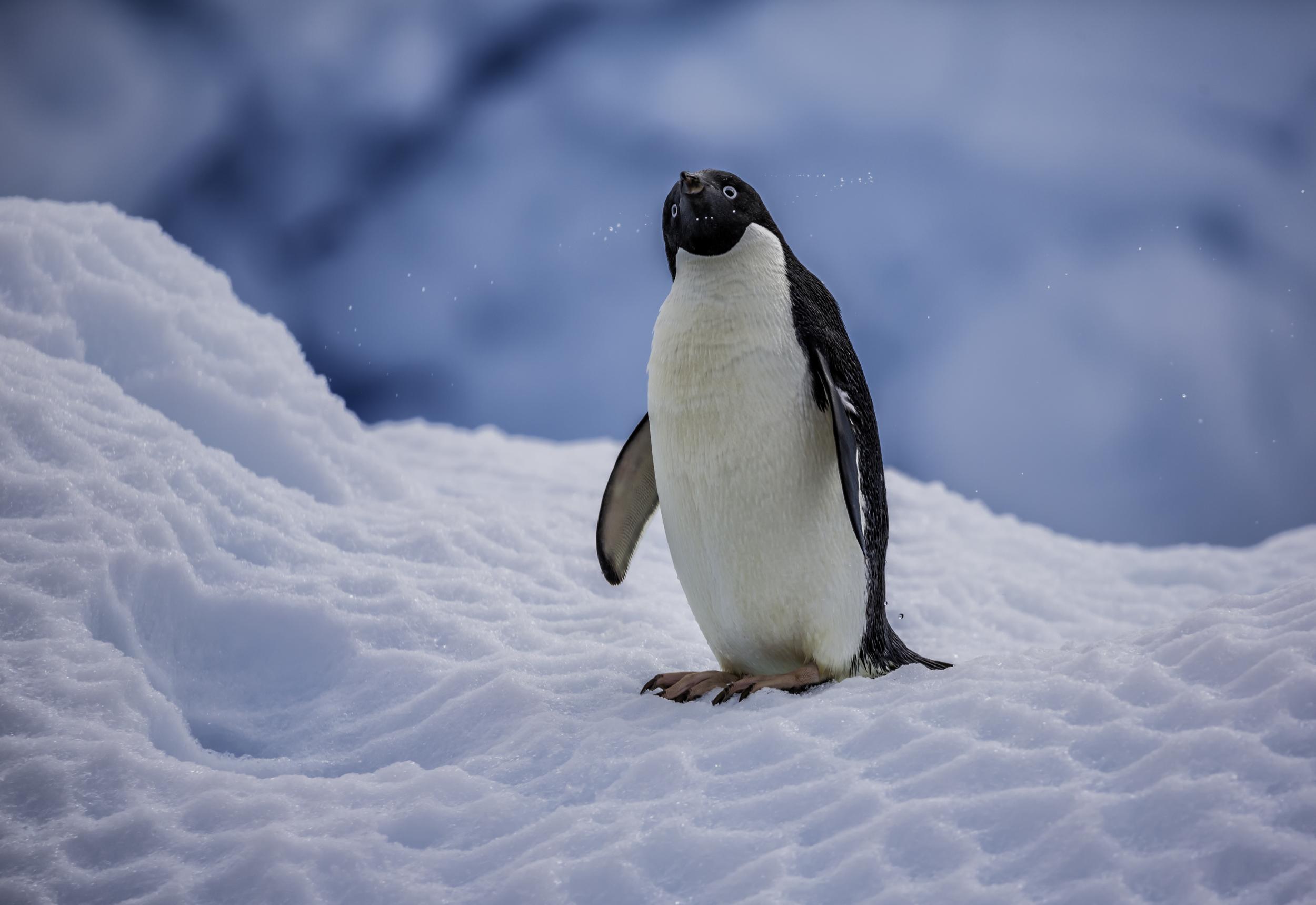 Penguin Shake