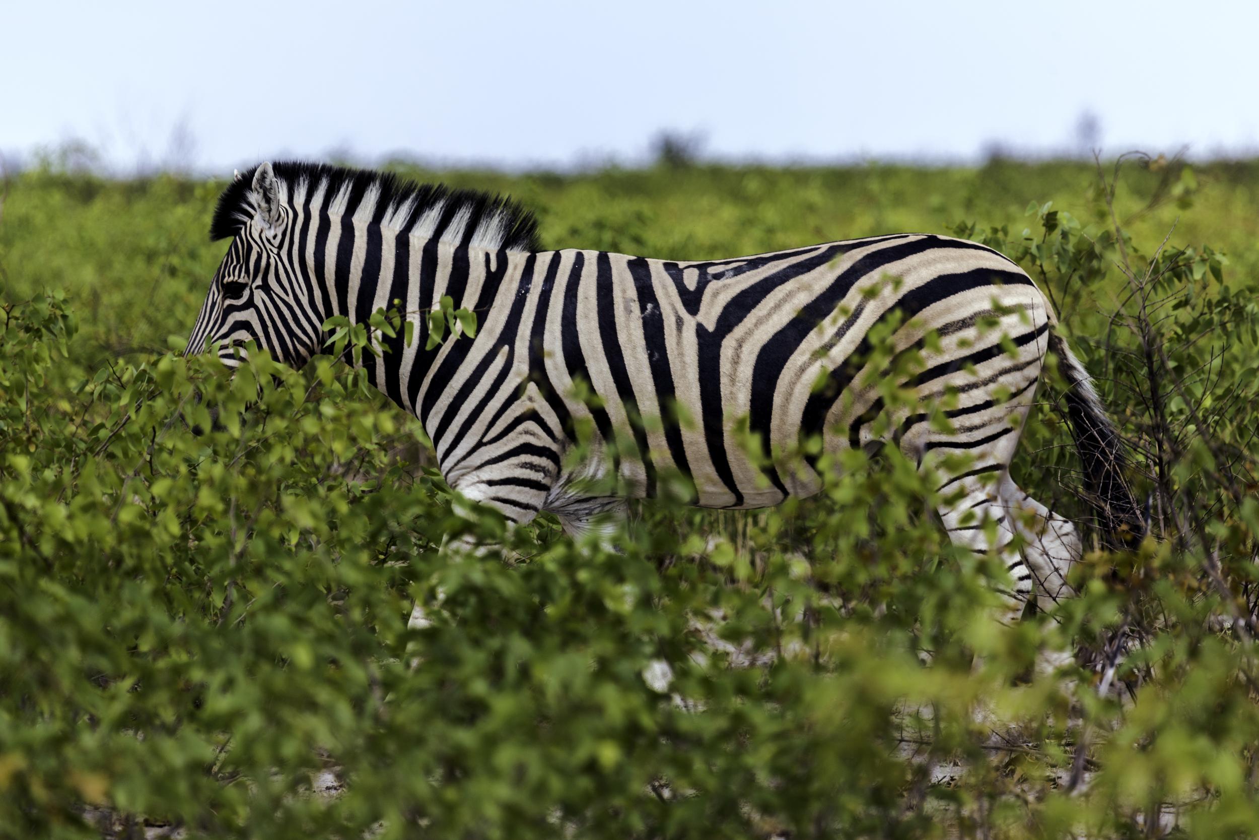 Zebra In The Bush
