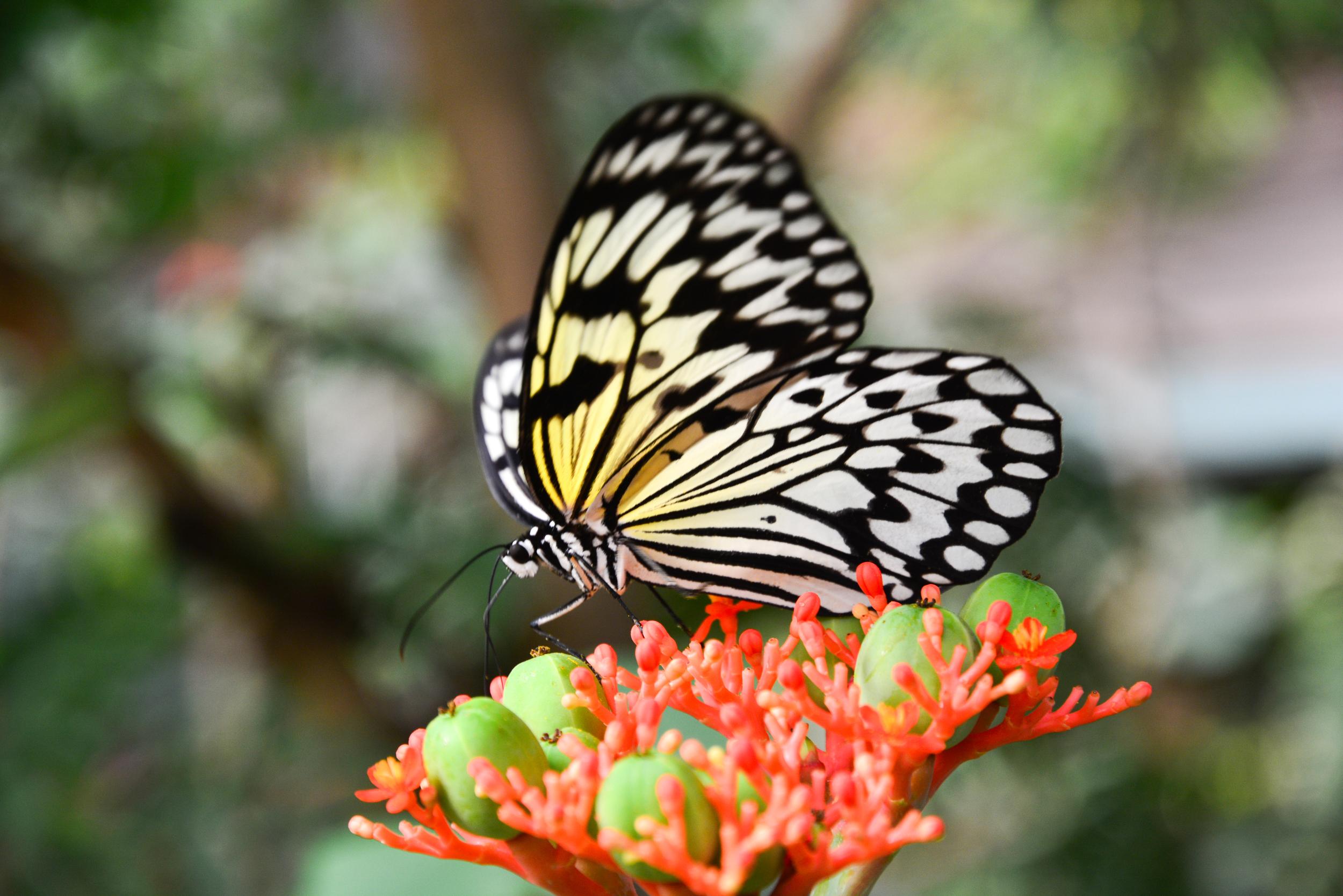 2013bufferflies-27.jpg