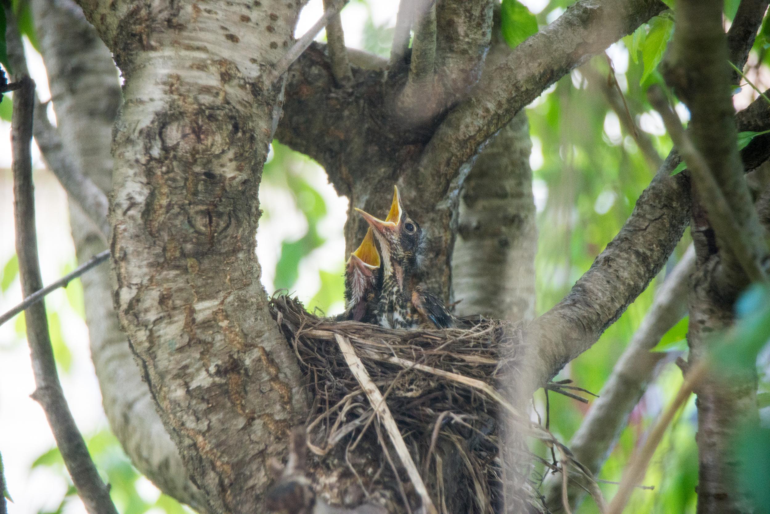 Robin nestlings