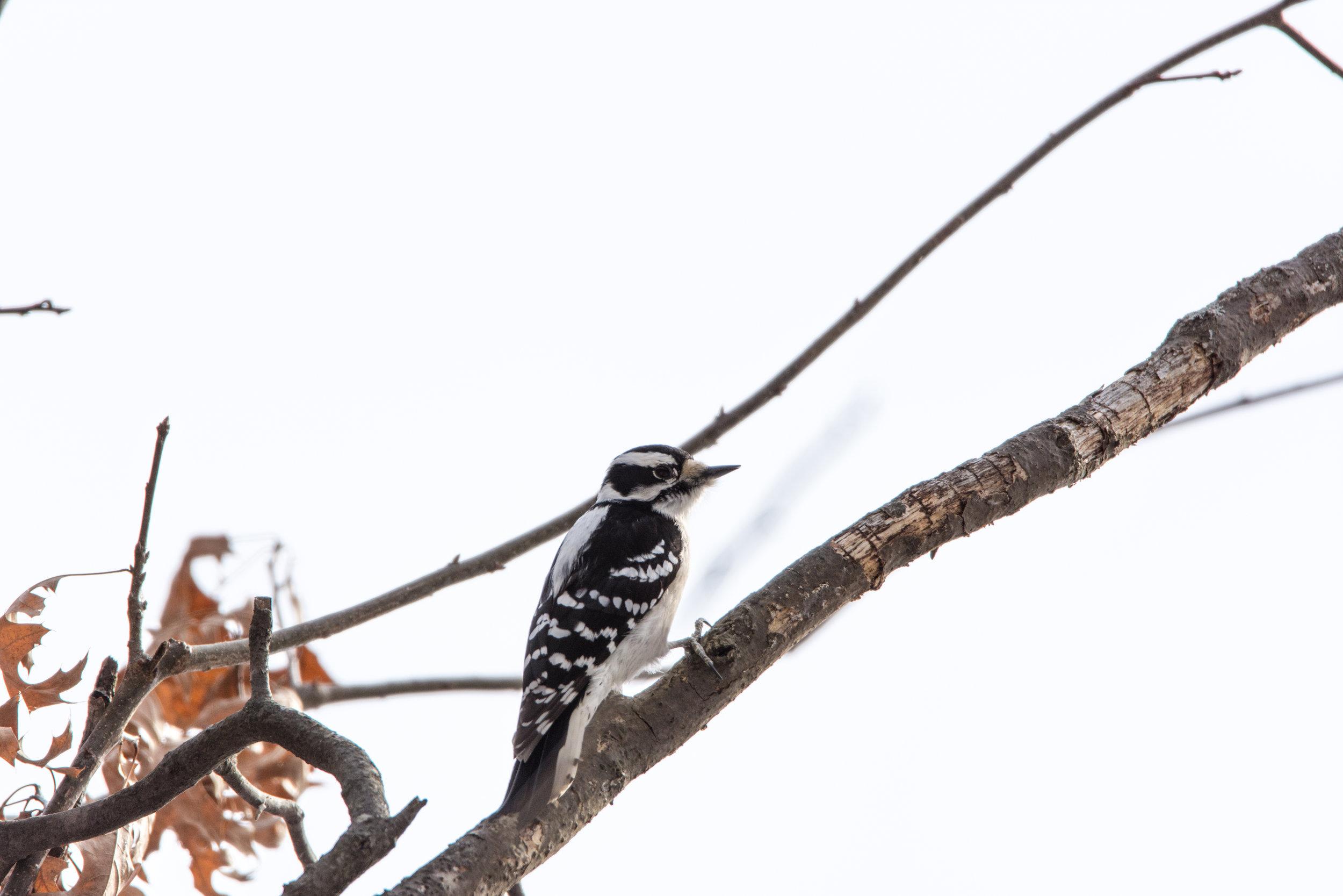 Female Hairy Woodpecker