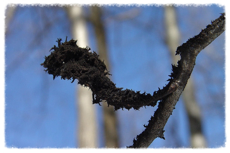 sooty mold on american beech branch winter