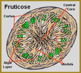 Sectional view of thallus, the body of the lichen.  http://www.earthlife.net/lichens/lichen.html
