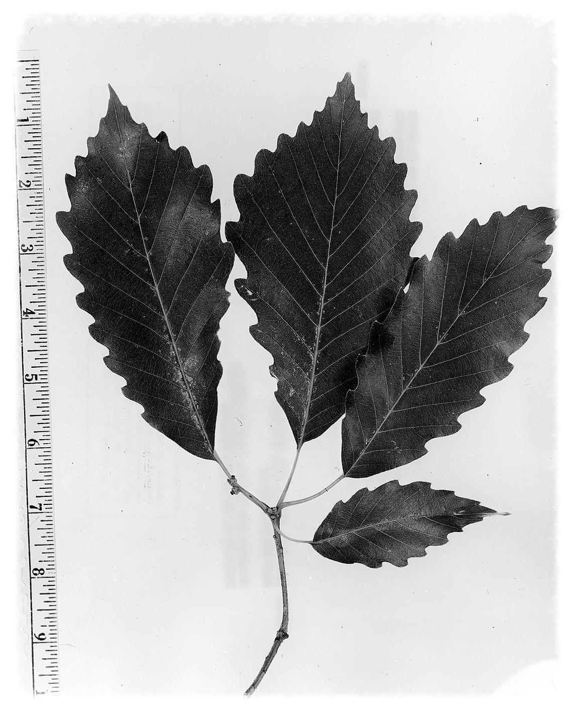 courtesy of W.D. Brush @ USDA-NRCS PLANTS Database