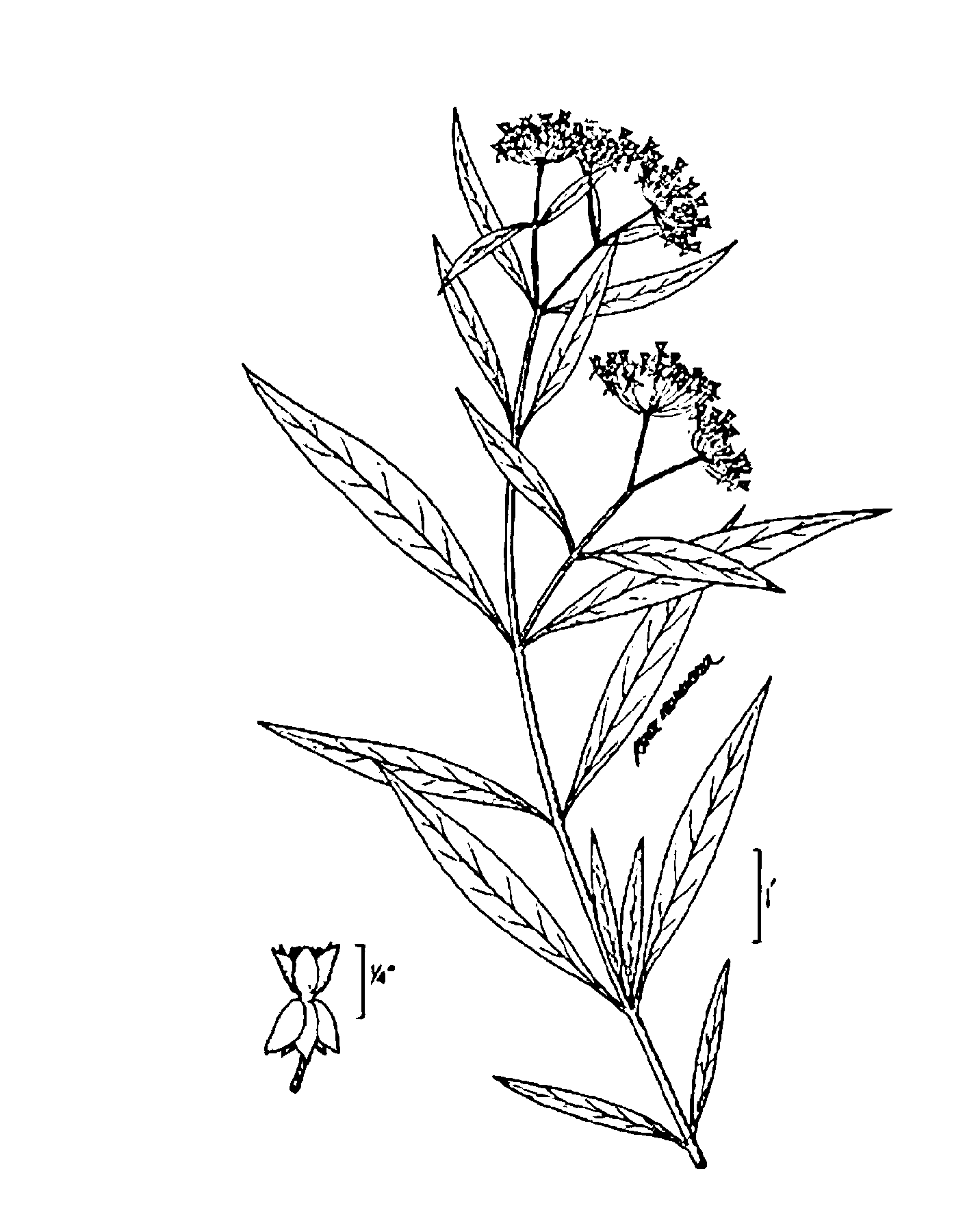 USDA-NRCS PLANTS Database / USDA NRCS. Wetland flora: Field office illustrated guide to plant species. USDA Natural Resources Conservation Service.