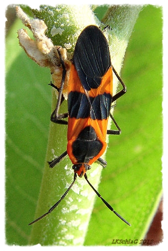 Large Milkweed Bug,  Oncopeltus fasciatus    photograph courtesy of Lisa K. SchlaG