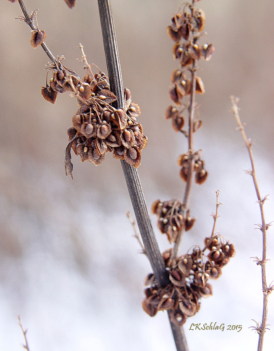 rumexSeedheads17i2015ChagrinField0218as.jpg