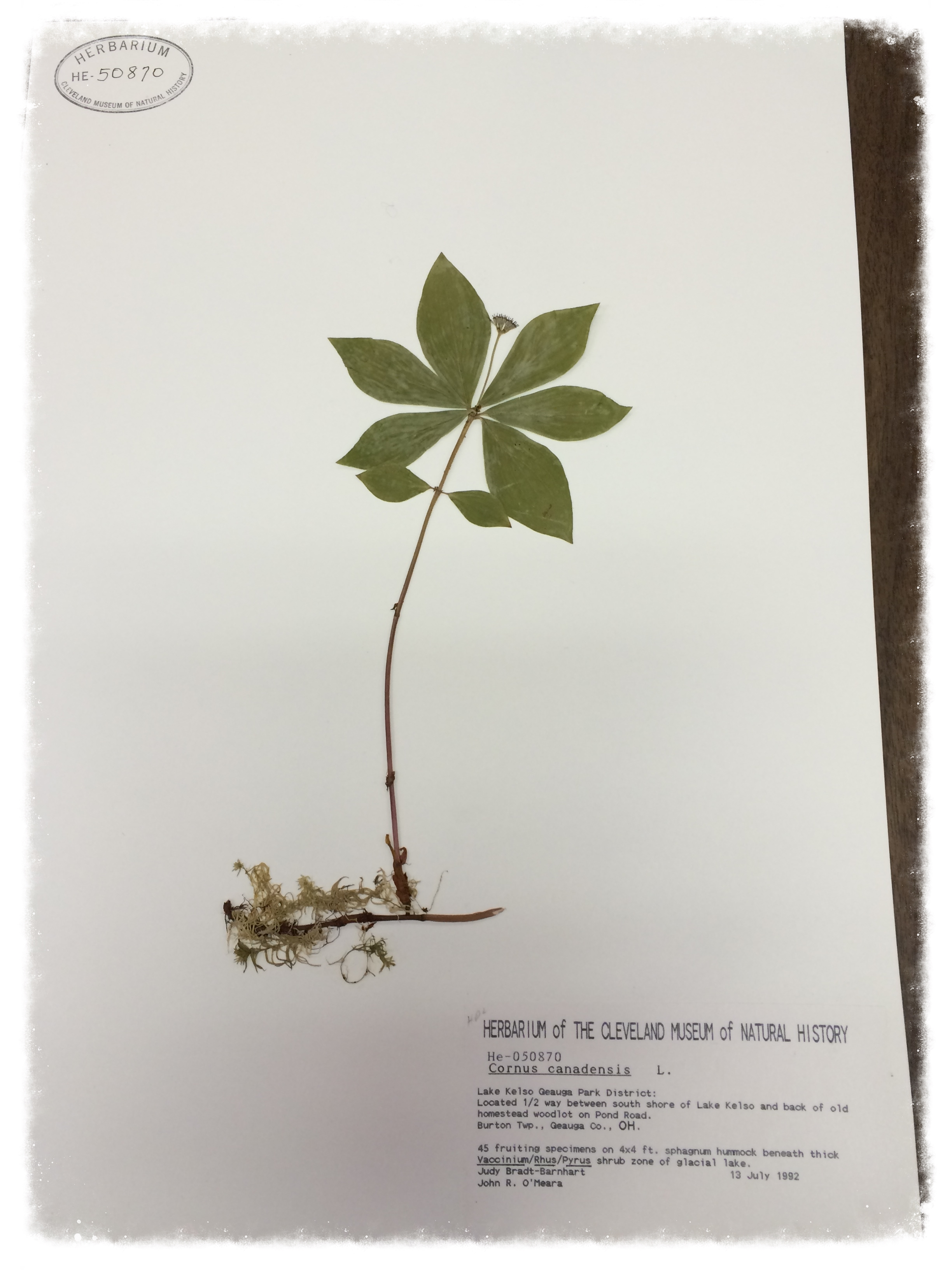 Cornus canadensis , bunchberry dogwood, specimen collected by Judy Bradt-Barnhart during her work with Geauga Park District. Close-ups of   C. canadensis  specimen  and  label .   Courtesy of The Cleveland Museum of Natural History, Trish Fox, Herbarium Coordinator