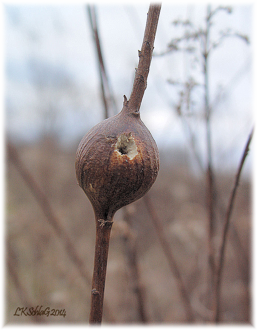 goldenrod ball gall predation