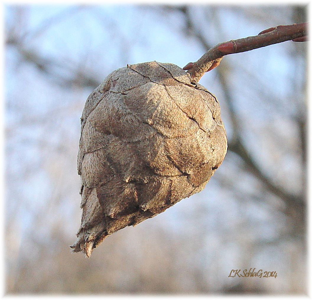 willow pine cone gall       photograph courtesy of Lisa K. Schlag
