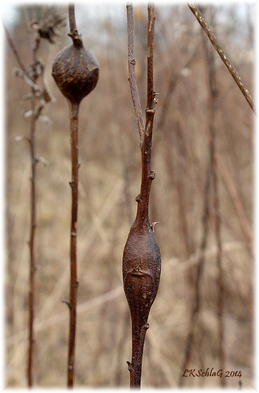 goldenrod ball and elliptical galls