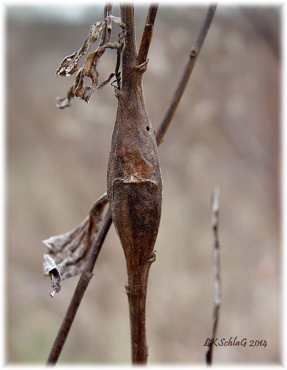 goldenrod elliptical gall