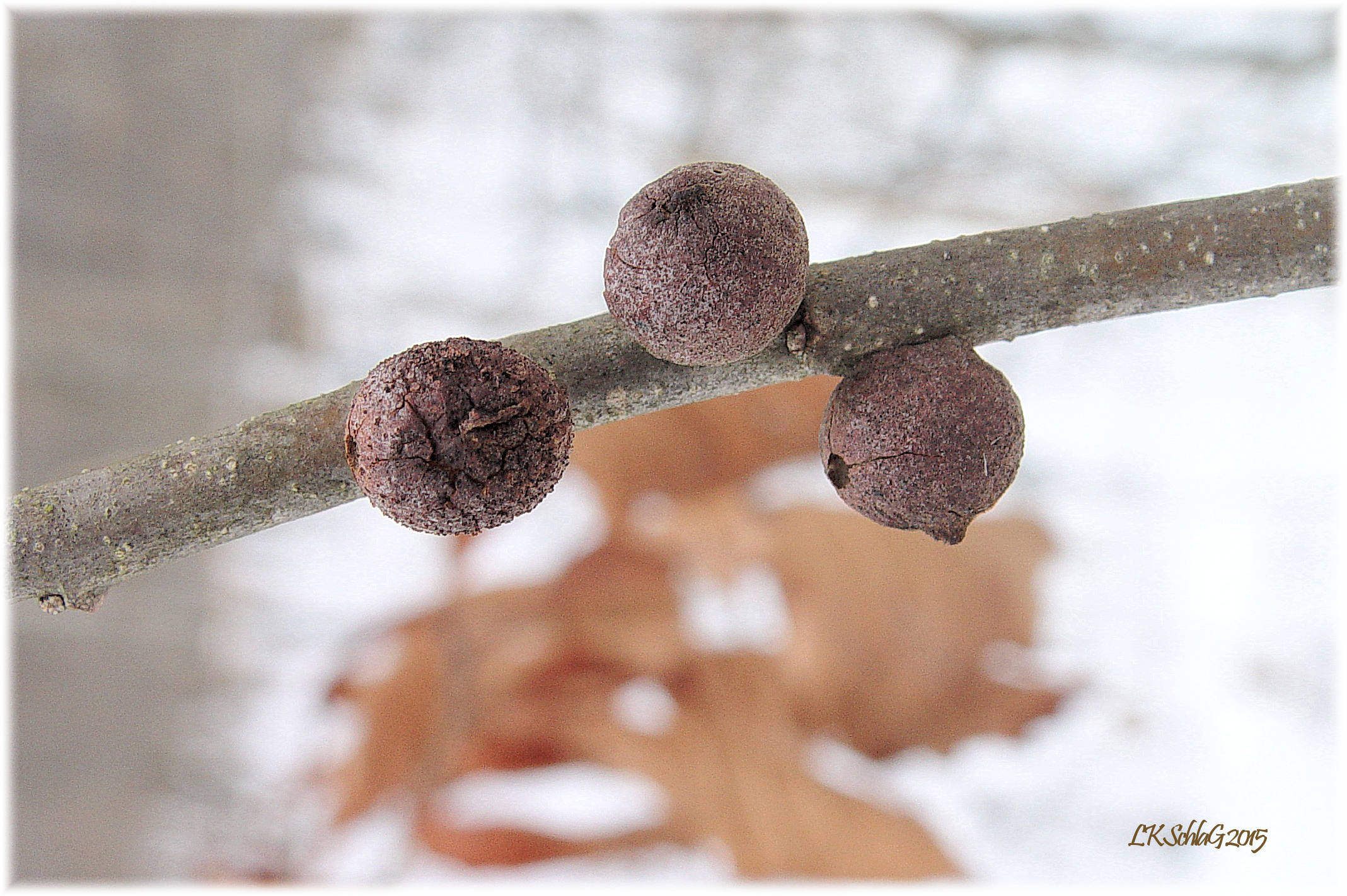 more oak rough bullet galls
