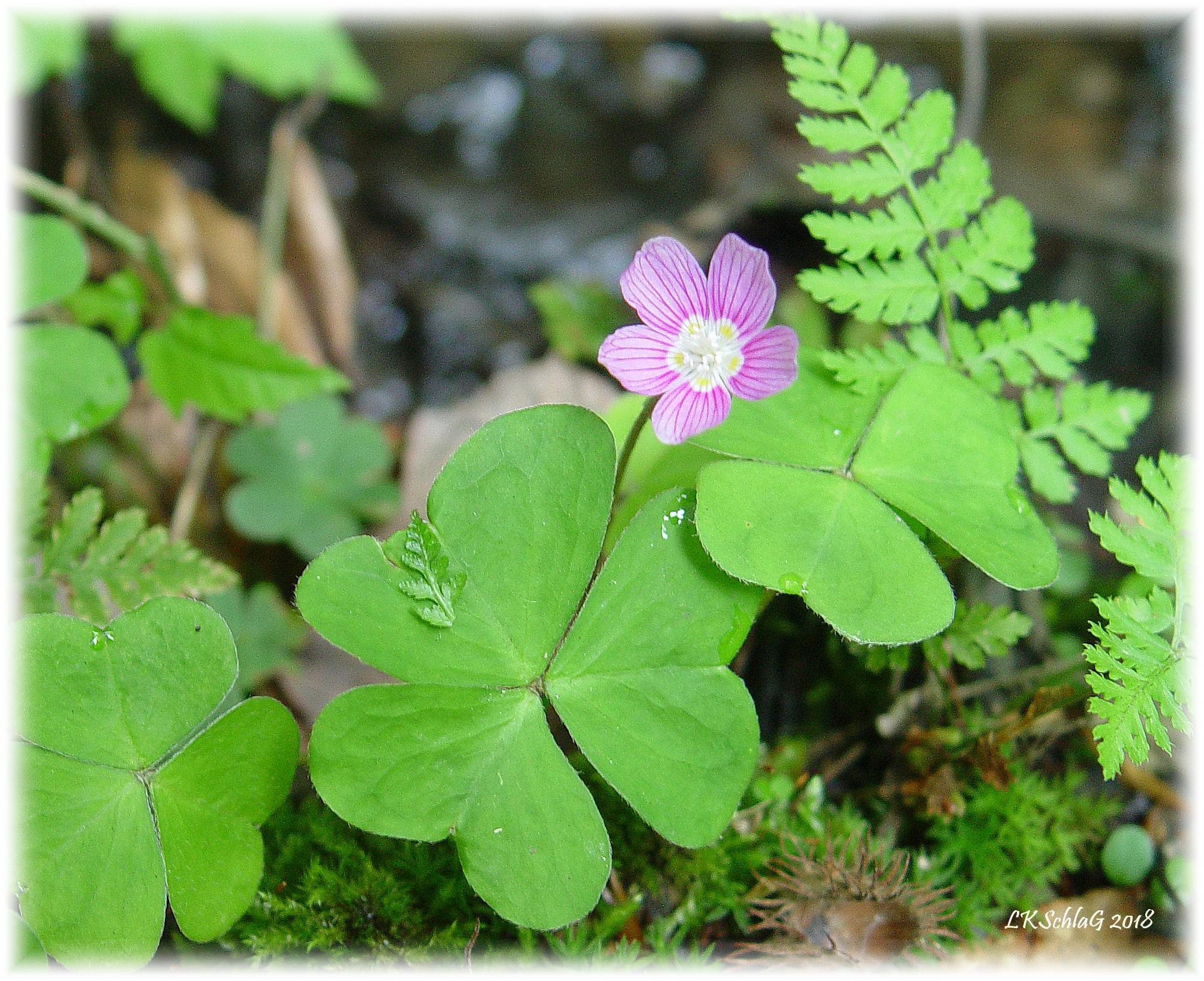 Common wood sorrel,    Oxalis montana