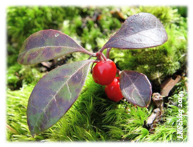 Wintergreen, Gaultheria procumbens, L.K.Schlag 2014,    Thompson Ledges Wildflower Walk Archives