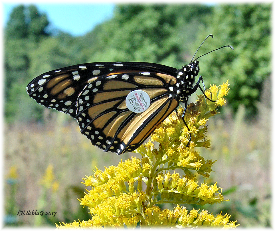 Adult female monarch,  Danaus plexippus,  butterfly tagged during a Native Plant Society   Monarch Tagging program   led by   Judy Semroc   and Larry Rosche at the North Kingsville Sand Barrens on 23 September 2017.