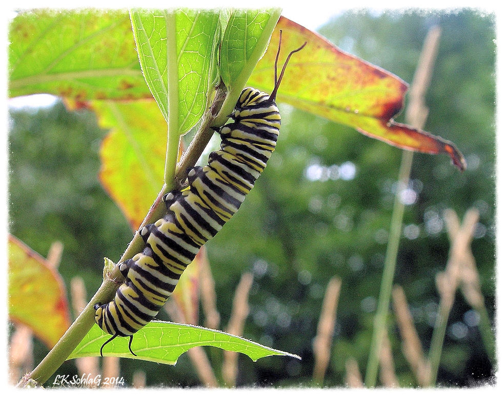 5th instar monarch,  Danaus plexippus , caterpillar feeding on common milkweed,  Asclepias syriaca , along Tinker's Creek during a Cleveland Metropark: Woodland's of Bedford hike led by      Fred Losi      at Bedford Reservation on 27 July 2014.