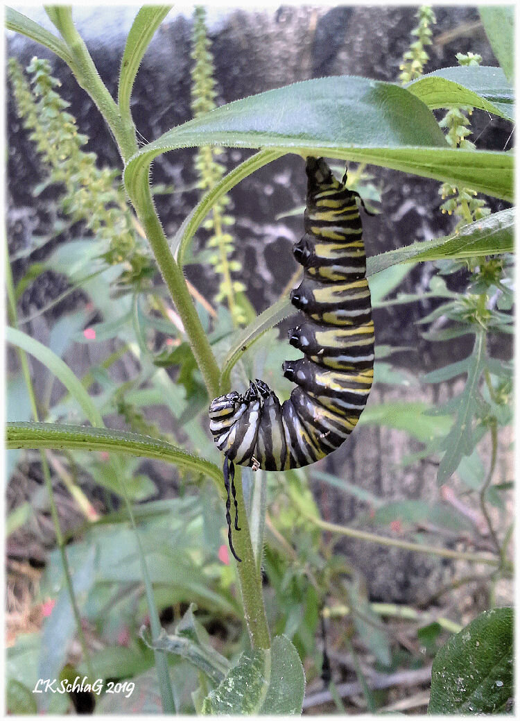 This 5th instar monarch caterpillar (larva) was observed at 1:45 pm hanging upside down in a J position on 2 September 2019 in Nelson Twp.