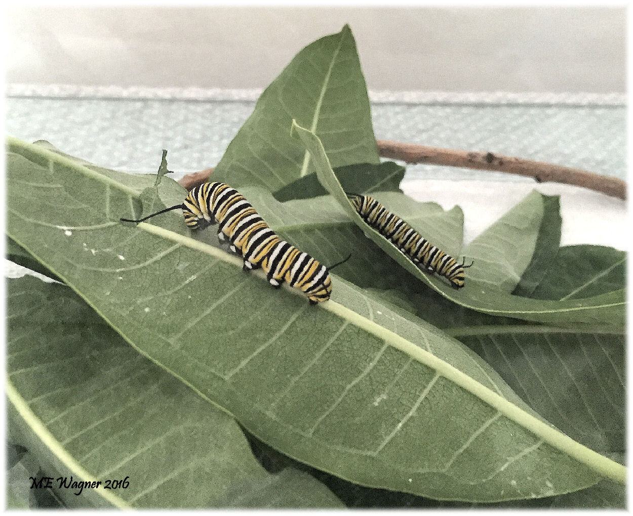 4th and 5th instar monarch,  Danaus plexippus,  caterpillars being raised indoors feeding on common milkweed,  Asclepais syriaca .    Photograph courtesy of Mary Ann Wagner