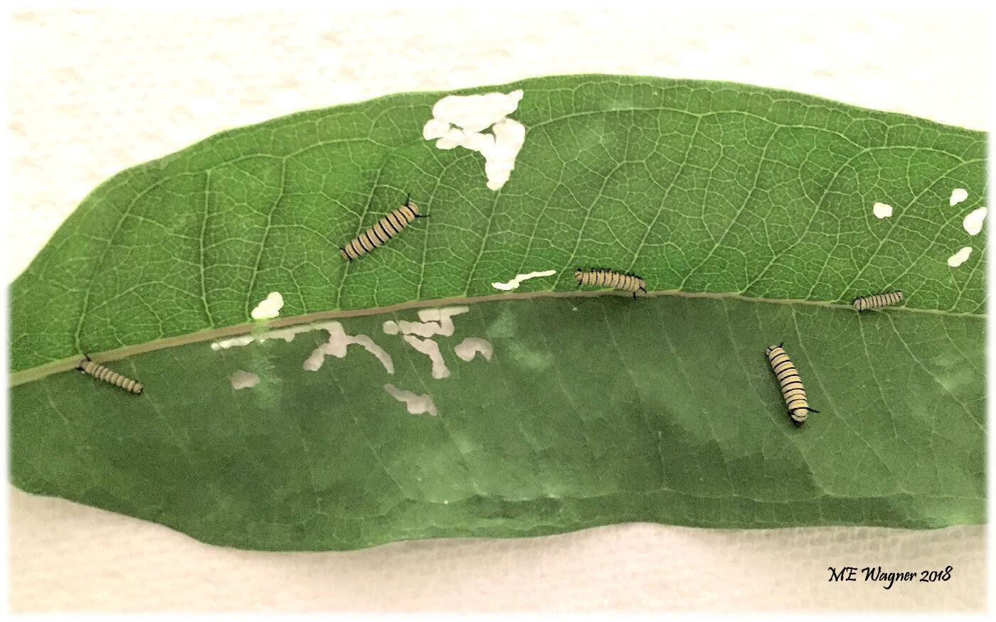 1st and 2nd instar monarch,  Danaus plexippus,  caterpillars being raised indoors feeding on common milkweed,  Asclepais syriaca .    Photograph courtesy of Mary Ann Wagner