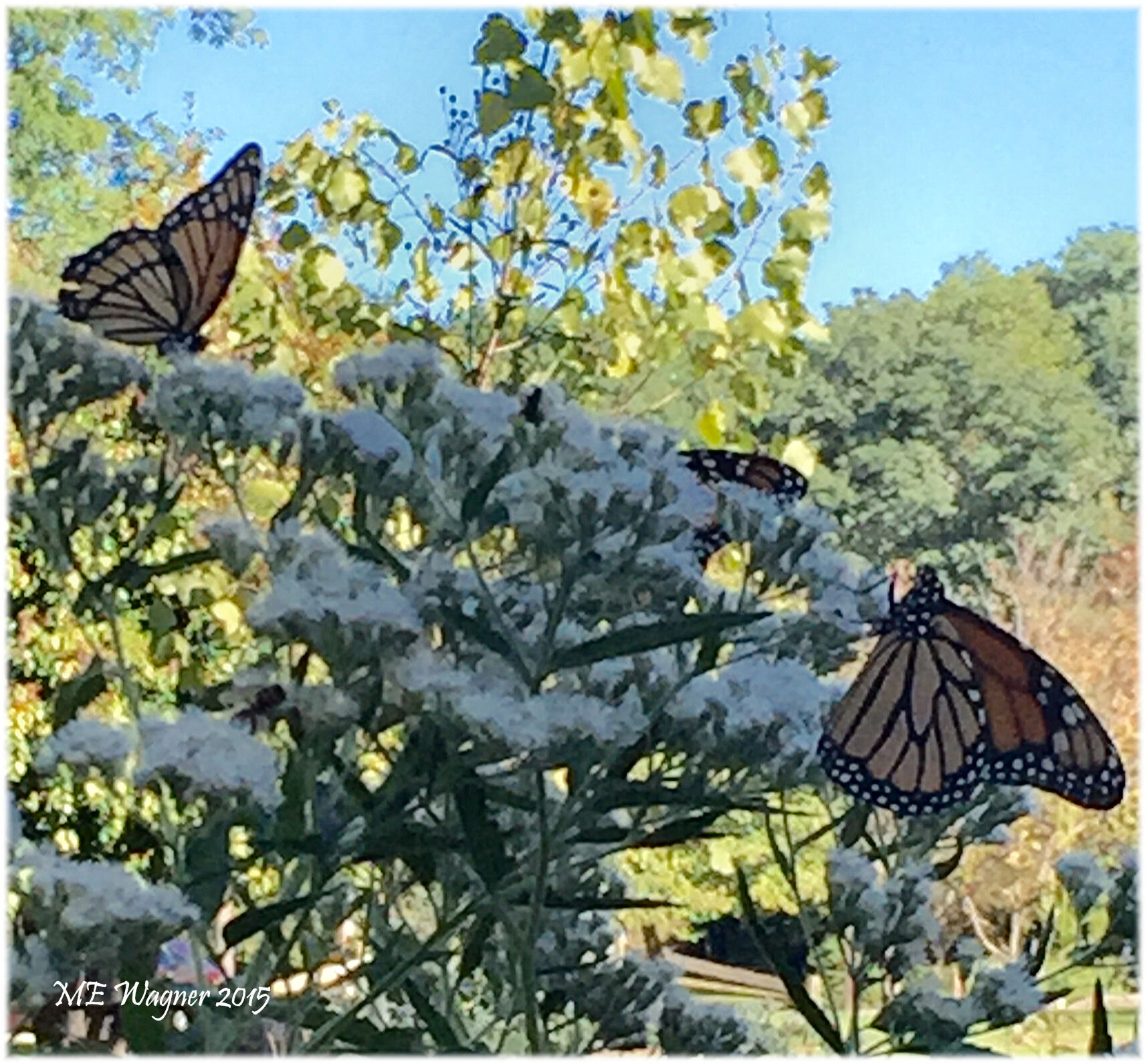 Adult monarch,  Danaus plexippus,  and viceroy,  Limenitis archippus , butterflies look very similar. Although the viceroy is slightly smaller than the monarch, a key field mark of a viceroy is a black line across the hind wings.    Photograph courtesy of Mary Ann Wagner