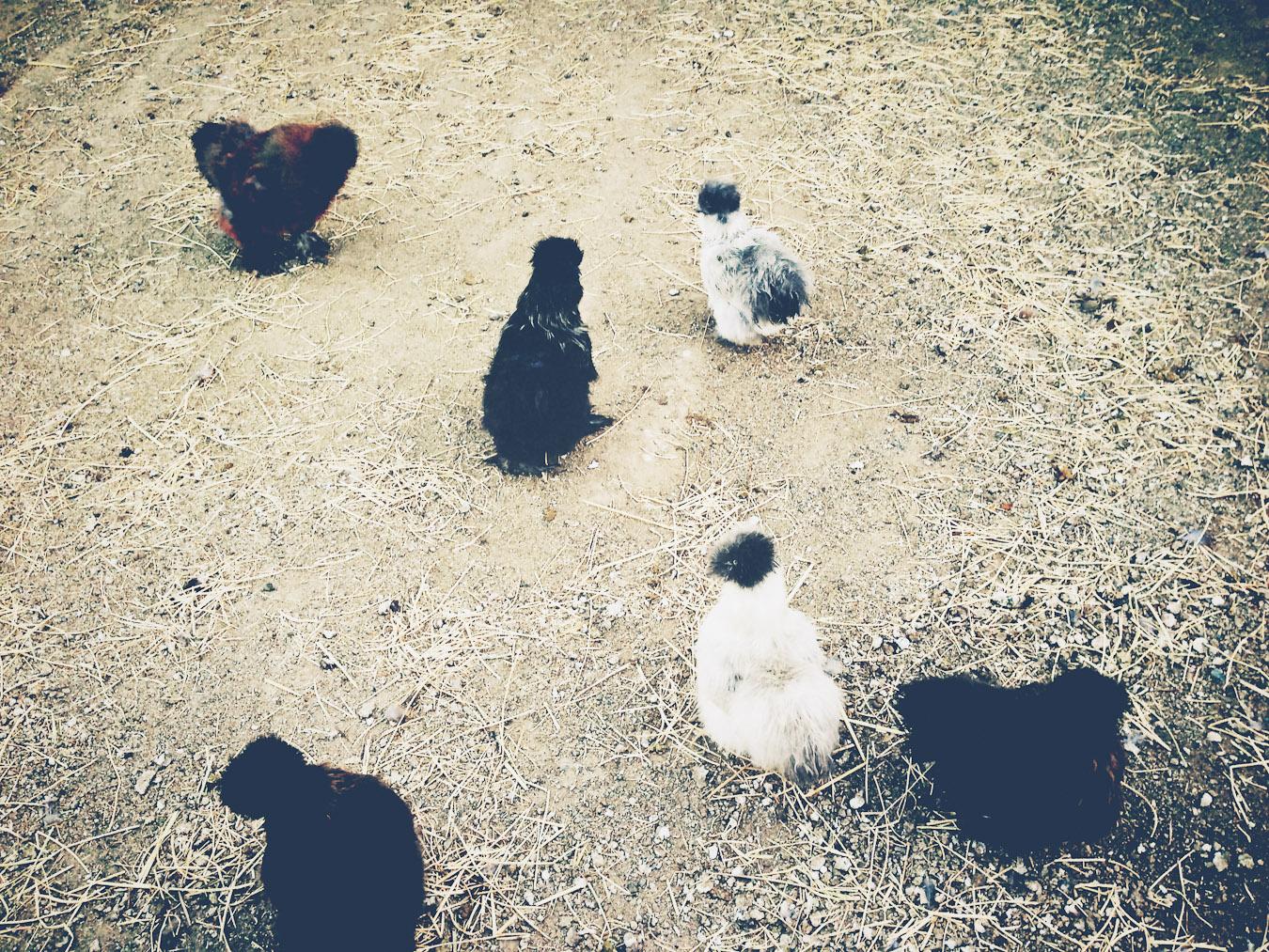 More Designer Chickens