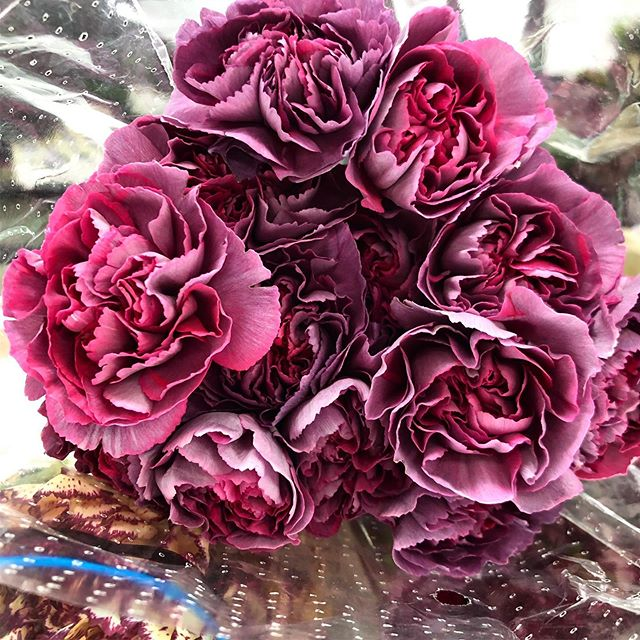 These aren't regular carnations, they're *cool* carnations.  We know carnations aren't the hippest flower of the moment (looking at you, ranunculus and peony 👀), but we're really feeling this Hypnosis variety.🌀😍 . . . #carnations #wholesaleflowermarket #pinkandpurple #hypnosiscarnations #antiquecarnations