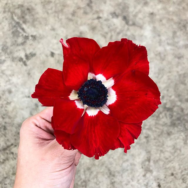 ⚠️ We typically DON'T get anemones in this time of year as they are out of season, and don't typically come in looking so hot. (And we always want to provide the freshest product possible!) These were special ordered for a client who fully understood/accepted the risk.  Ok, now that we got that disclaimer out of the way, let's all enjoy the stroke of luck that blessed this batch. Aren't they GORGEOUS?! (We have a few leftover bunches waiting for you in our walk-in cooler!) . . . #wholesaleflowermarket #anemones #weddingflowers