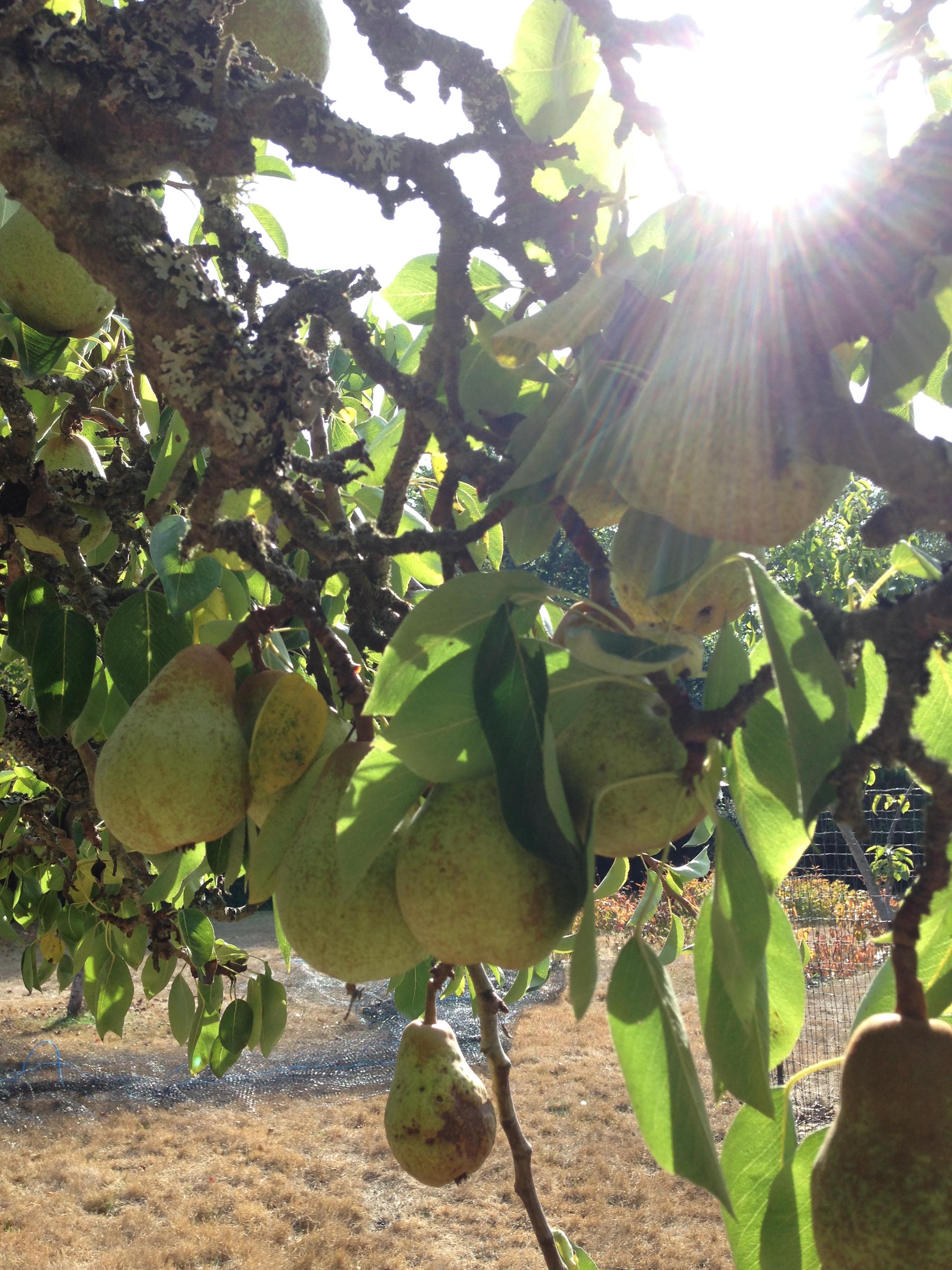 pears on trees.jpg