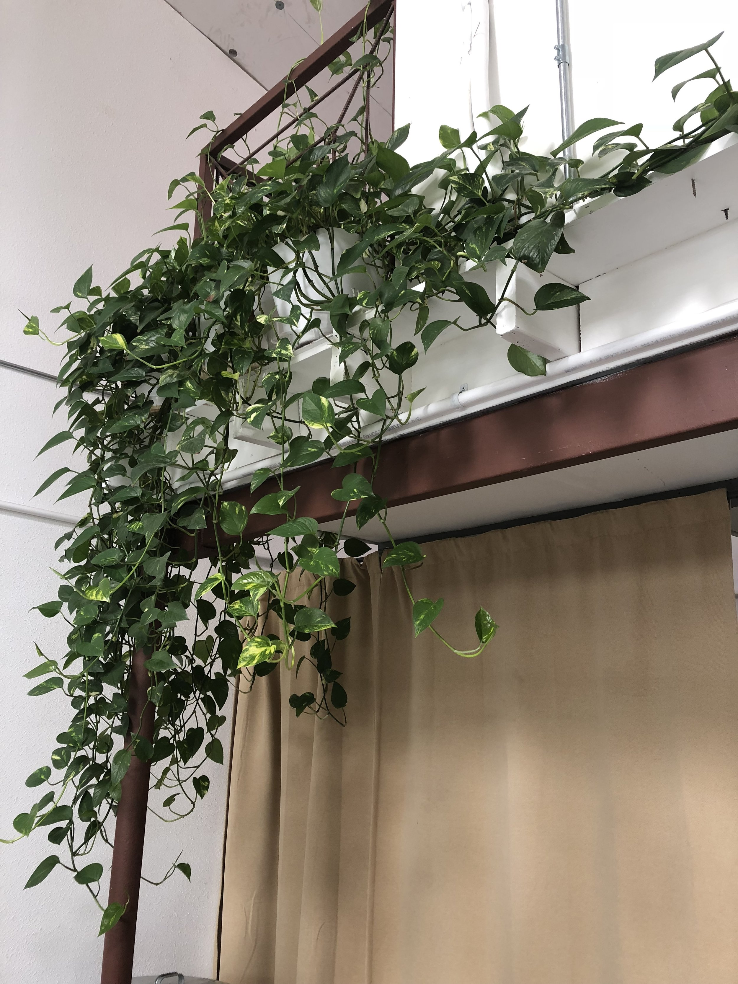 The Paper + Craft Pantry's beautiful Pothos