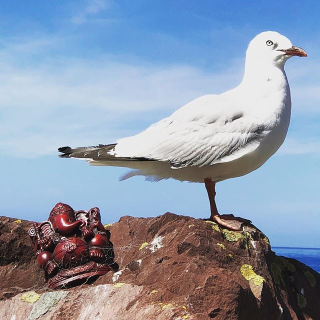 Seagull and Ganesh. Ohiro bay #ganesh #seagull #wellington #ohiro  #why