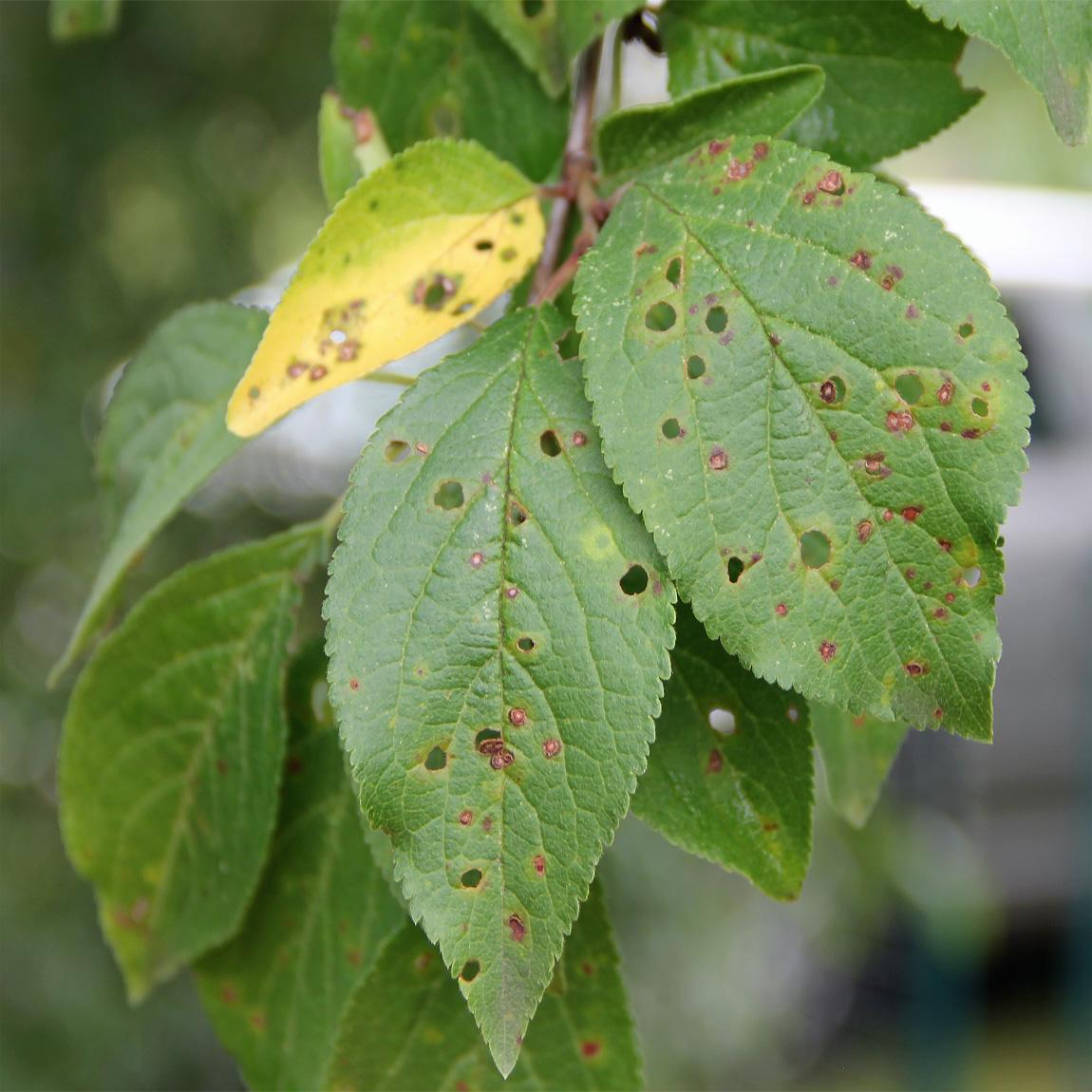 Shot Hole Disease on Cherry Leaves
