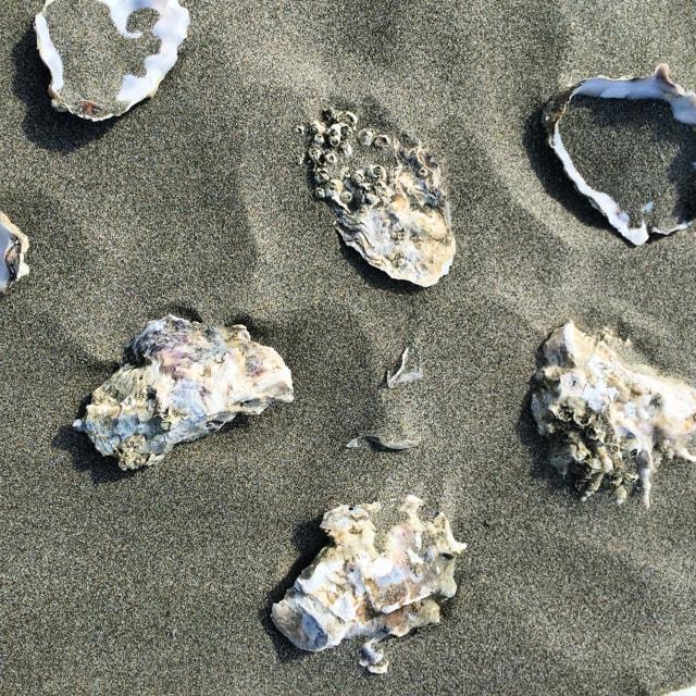 KMarshello_LongBeachWA_oyster_shells.jpg