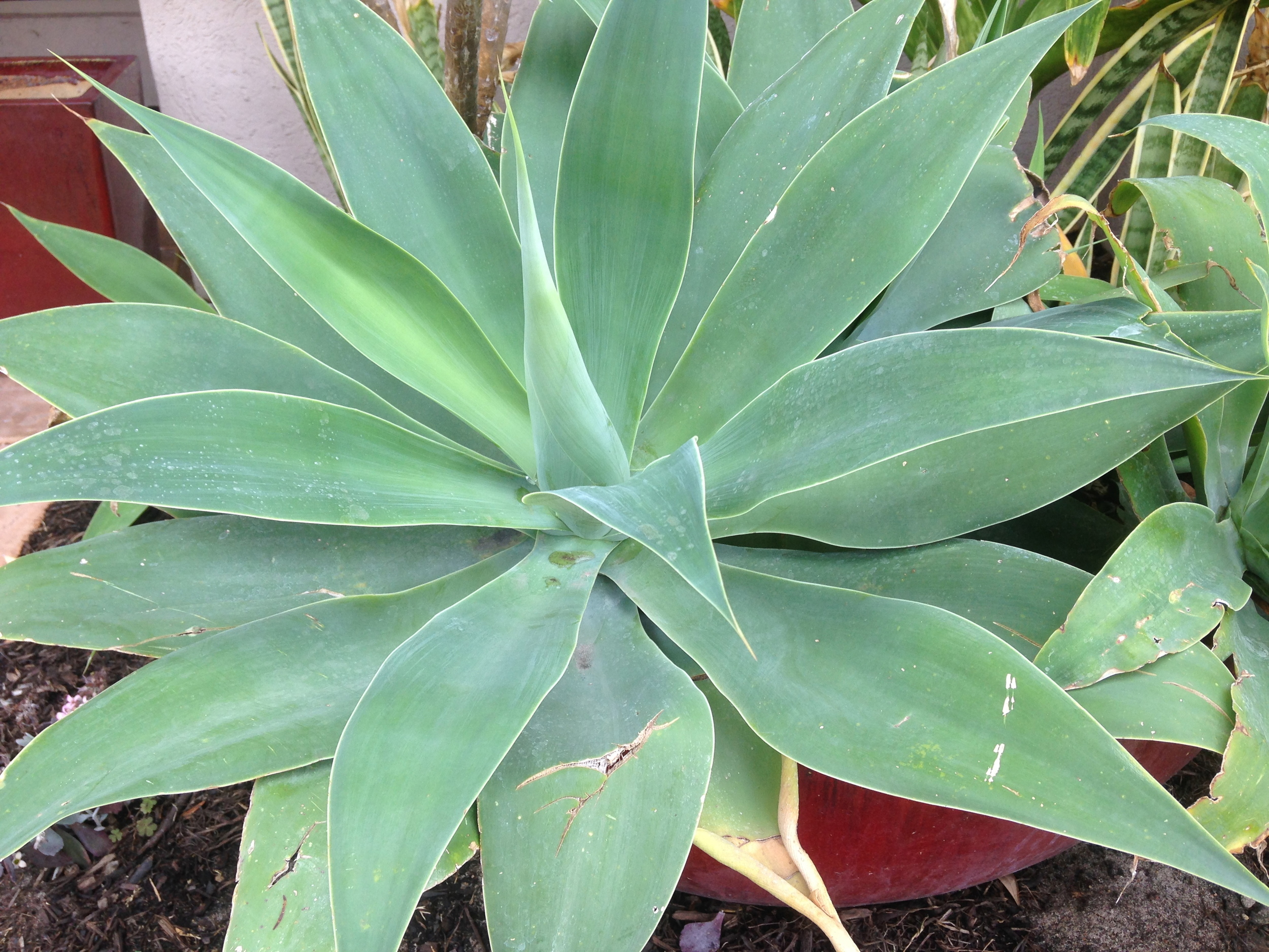 Agaves are perfect with large wide succulent leaves (Photo:Kerri Fennell)