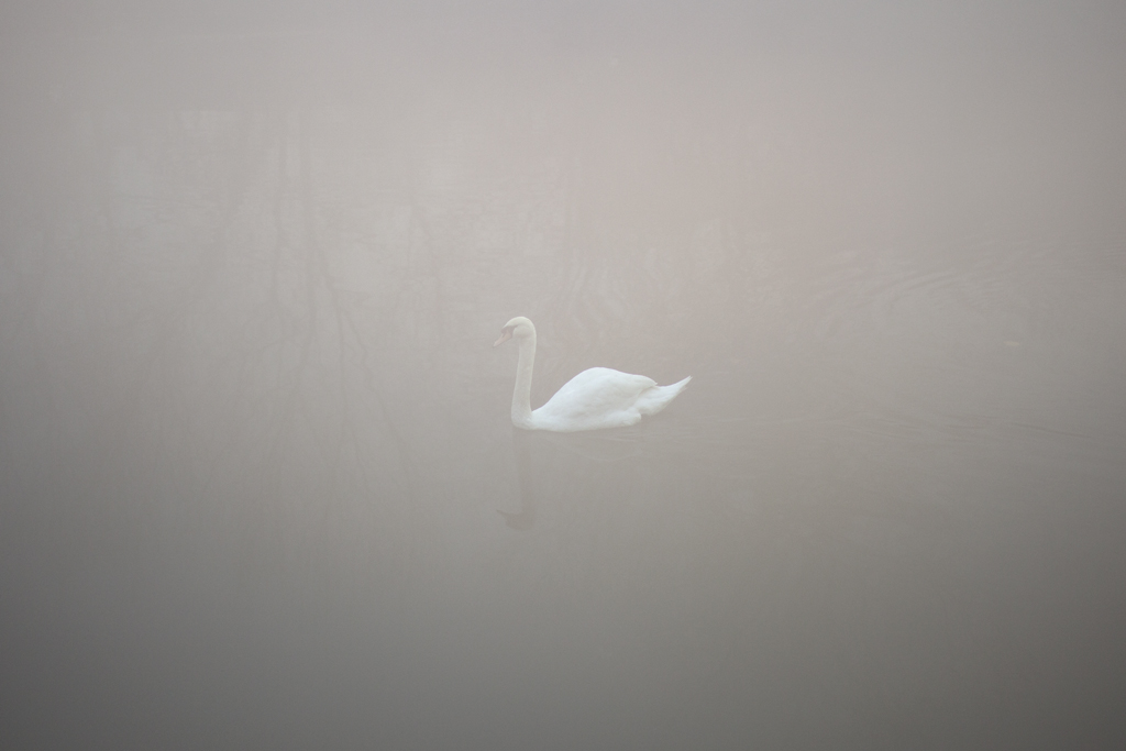 Swan on Canal // Hackney, London, 2014.