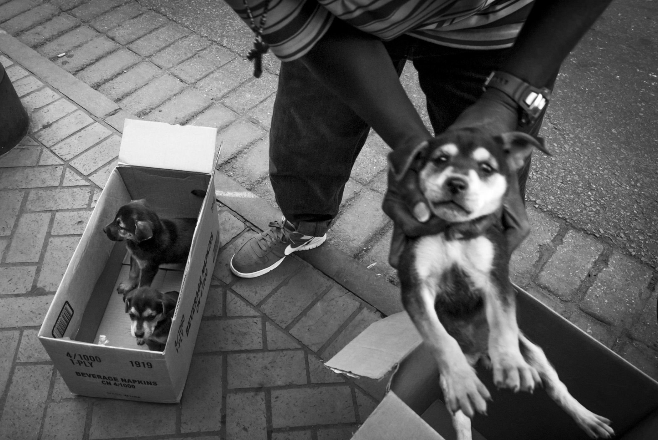 Moving puppies that were for for sale from one box to a larger one Bourbon Street, New Orleans, 2010